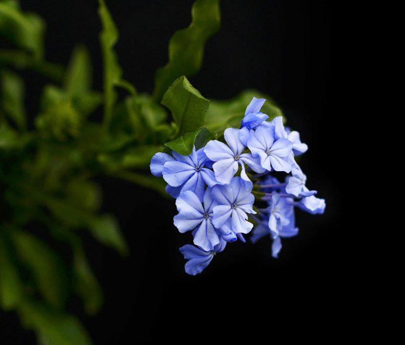 Blyblomma, en himmelsblå blomma