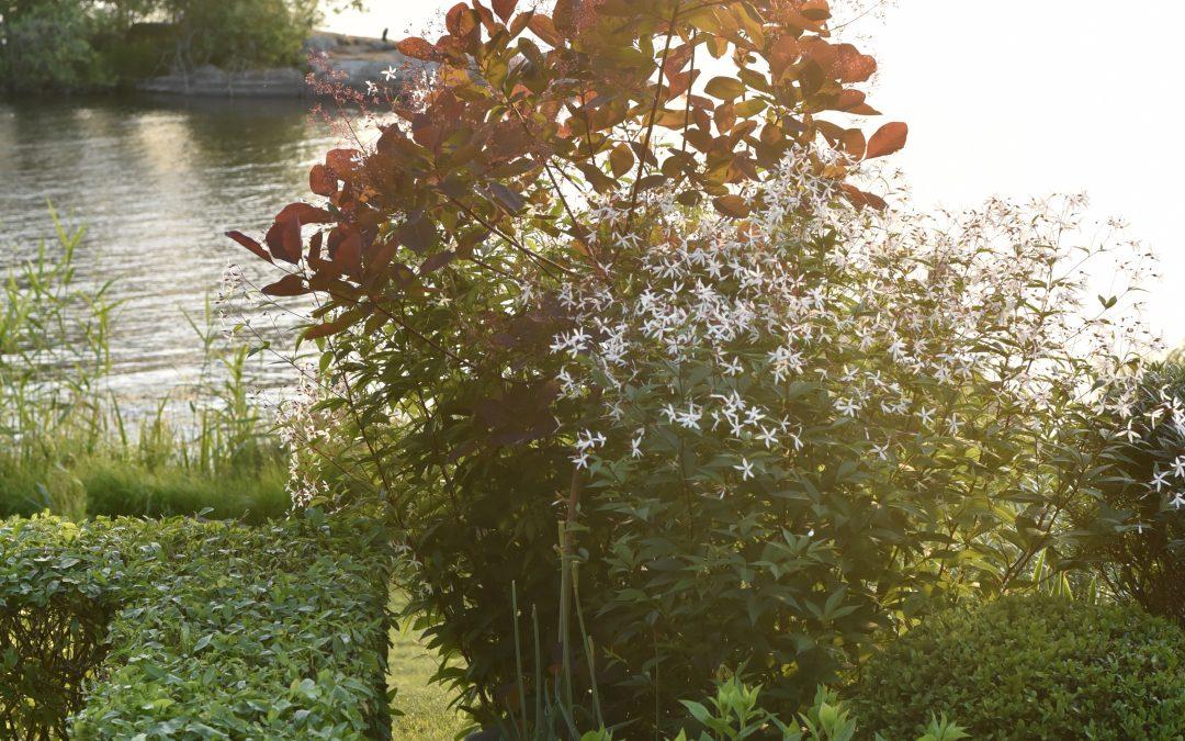 Nu blommar trebladsspiran