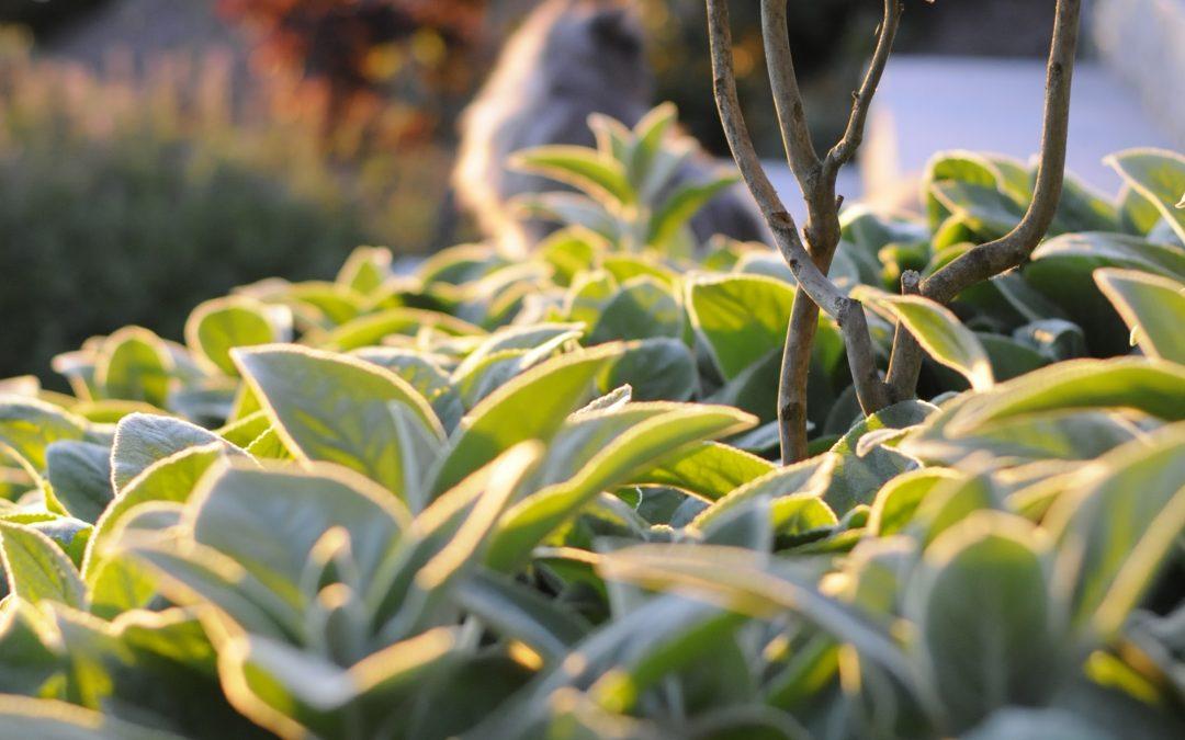 Storbladiga lammöron och svart akleja