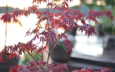 Härdiga träd i kruka till balkong och terrass