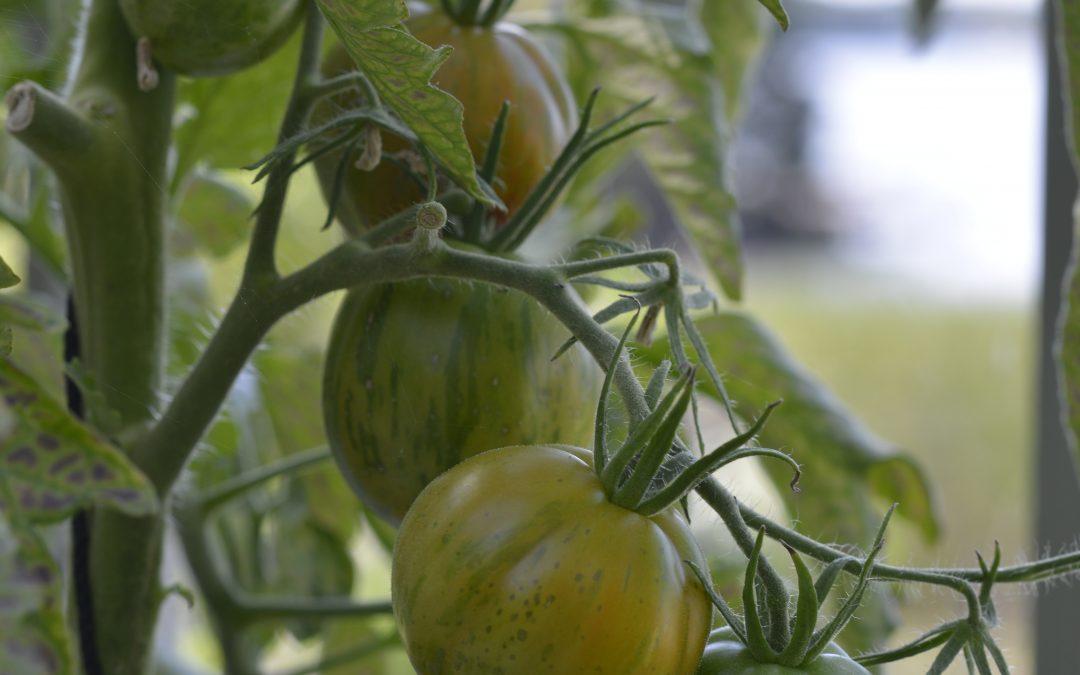 Skördetid..tomater, vaxbönor och en liten aubergine