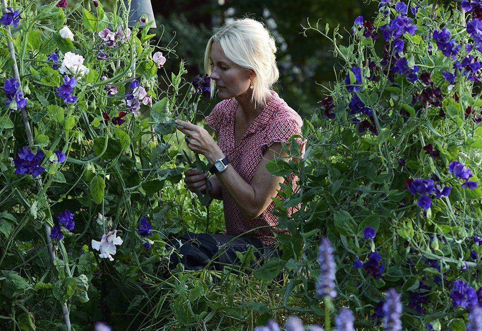 Odlingsråd luktärtor