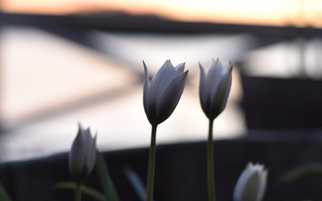 Exklusiv botanisk violtulpan, Tulipa 'Alba Coerulea Oculata'