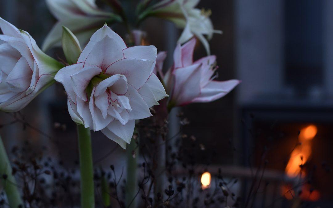Min nya kärlek..Amaryllis 'Elvas'