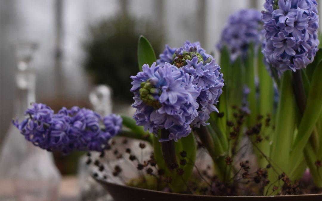 Blå hyacinter doftar mest