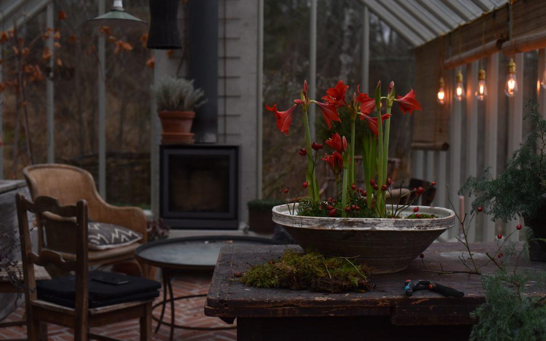Fjärde advent, röd amaryllis, tall och glas
