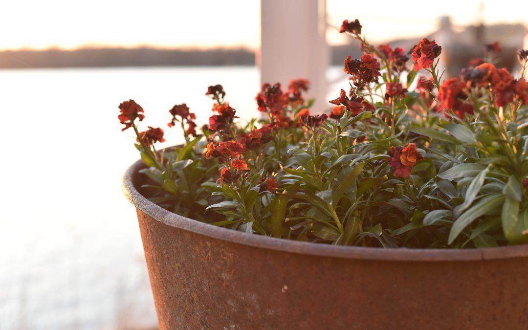 Gyllenlack tål kyla,blommar länge och älskas av bin
