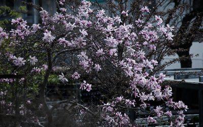 Dags att plantera magnolia