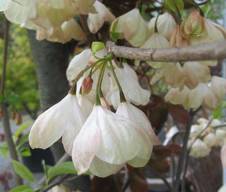 Snödroppsträd blommor