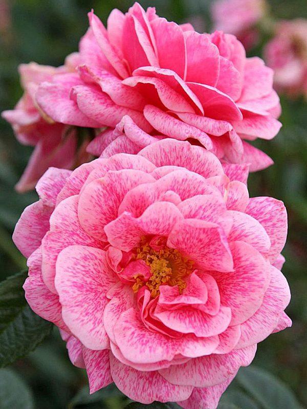 Rosa storblommig ros camelot