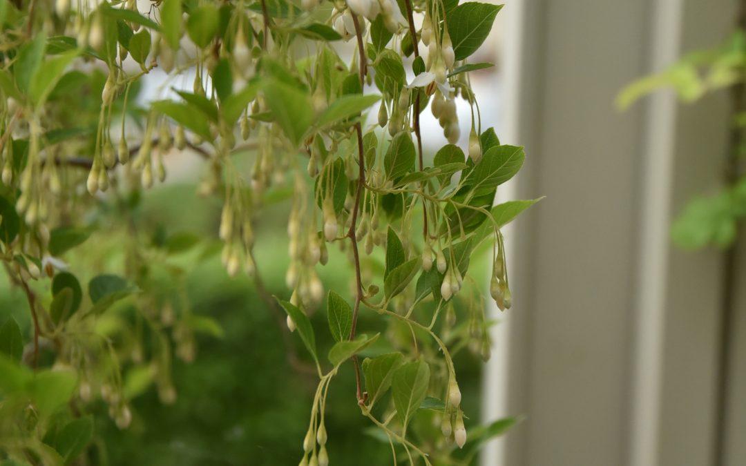 Storax doftar sött i mitt växthus just nu