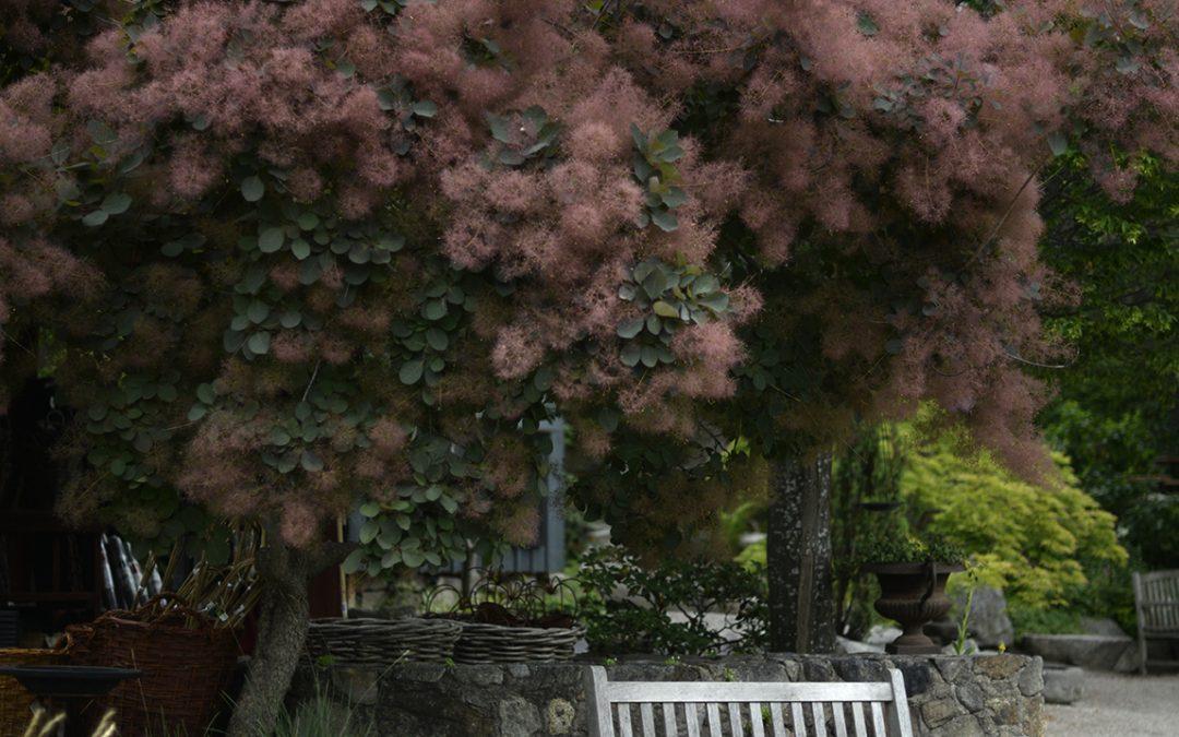 Perukbusken 'Grace'