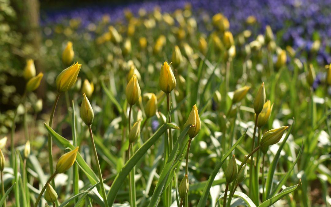 Botaniska tulpaner på Tv4