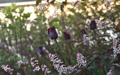 Halva priset på vårblommande lökar och trädgårdsväxter